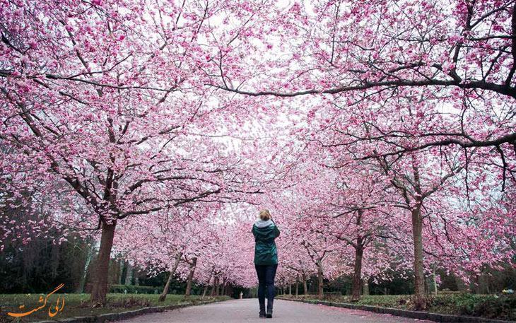 معرفی 7 فستیوال گل های بهاری در سرتاسر جهان