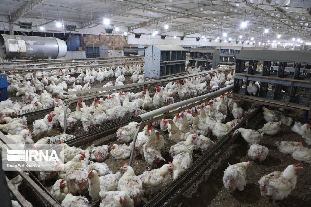 خبرنگاران بیشتر گوشت مرغ تولیدی سبزوار در خراسان رضوی مصرف می گردد