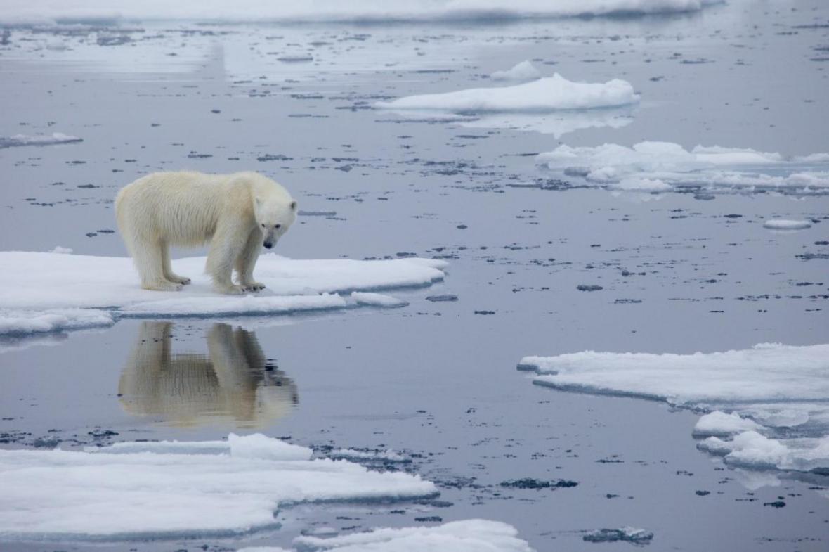 شیوع بیماری جدید در خرس های قطبی